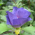 Azurri Blue Satin Rose of Sharon Flower Opening Up