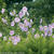 Lavender Chiffon Rose of Sharon Flowers on Branches