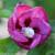 Lil Kim Violet Rose of Sharon Flower Petals Opening Up
