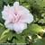 Sugar Tip Rose of Sharon Flower Petals Close Up