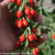 Big Lifeberry Goji Berries