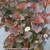 Ginger Wine Ninebark in Pot Blooming