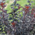 Summer Wine Black Ninebark Branches With Leaves
