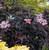 Black Beauty Elderberry Shrub Flowering