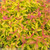 Double Play Gold Spirea Fall Foliage