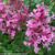 Bloomerang Dwarf Pink Lilac Flowers Close Up