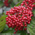 Cardinal Candy Viburnum Berries and Leaves