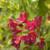 Ghost Weigela Flower Petals