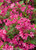 Sonic Bloom Pink Weigela Flower Petals