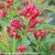 Sonic Bloom Red Weigela Flowers and Foliage