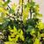 Pharos Gold Blue Holly Flowering