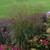 Prairie Winds® Cheyenne Sky Switch Grass in the Garden