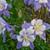 Songbird Blue Bird Columbine with Purple White Blooms