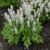 Tiarella Cutting Edge with White Blooms