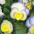 Etain Violet Pink White Yellow Blooms