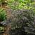 Chocoholic Bugbane with Dark Foliage
