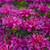 Pardon My Purple Bee Balm Purple Blooms Up Close