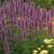 Blue Boa Hummingbird Mint Purple Blooms