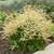 Chantilly Lace Goatsbeard Blooming