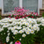 Amazing Daisies Daisy May Shasta Daisy in Landscaping with White Flowers