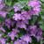 Jolly Good Clematis Vine Purple Flowers
