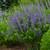 Decadence Blueberry Sundae False Indigo with Blue Blooms