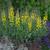 Decadence Lemon Meringue False Indigo in Landscaping