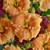 Rainbow Rhythm Orange Smoothie Hemerocallis with Orange Flowers