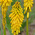 Pyromania Solar Flare Red Hot Poker with Yellow Blooms