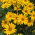 Tuscan Gold False Sunflower