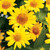 Tuscan Sun False Sunflower Yellow Blooms