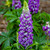 Mini Gallery Blue Bicolor Lupine with Purple Blooms