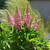 Mini Gallery Pink Bicolor Lupine Blooming in Pot
