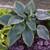 Shadowland Wu-La-La Hosta Foliage