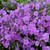 Purple Sprite Phlox with Purple Blooms