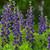 Decadence Sparkling Sapphires False Indigo with Purple Flowers