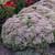 Rock 'N Round® Pure Joy Stonecrop Sedum