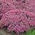 Rock N Round Popstar Stonecrop Sedum with Salmon Pink Blooms