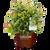 Sugar Cookie Viburnum in Branded Pot Main