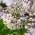 Ever Twilight Agapanthus Flowers Main
