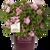 Autumn Debutante Encore Azalea in Branded Pot Main