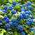 Large Nikko Blue Hydrangea Shrub Blooming