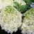 White Wedding Hydrangea Shrub Blooming Main