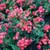 Red Drift Rose Bushes Full of Blooms