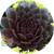 Chick Charms Bing Cherry Sempervivum Close Up
