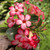 Desert rose house plant blooming