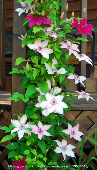 2-different-clematis-growing-and-blooming-together-2.jpg