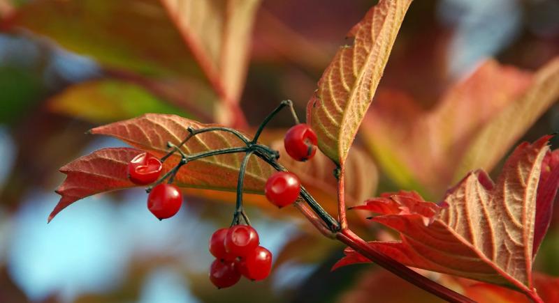 4-seasons-of-interest-viburnum-in-the-fall.jpg