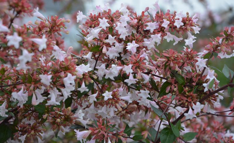 abelia-flowers.jpg