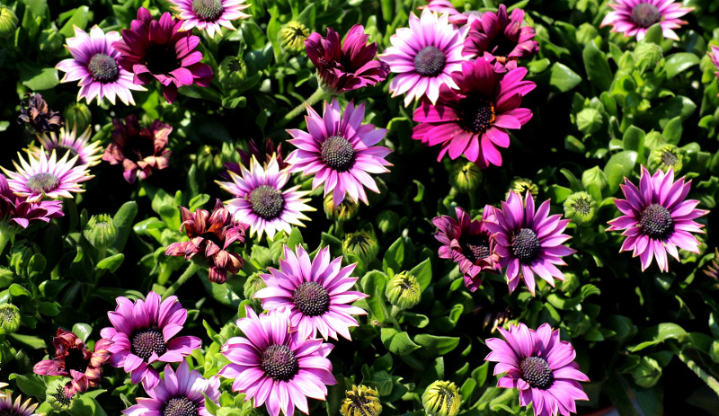 african-daisy-plants-blooming-and-spent-flowers.jpg